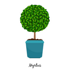myrtus plant in pot vector image vector image