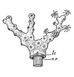 Colony of collarium rubrum vintage vector