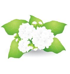 Jasmine vector image vector image