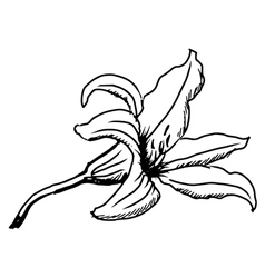 lily vector image