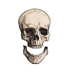 Hand drawn anatomical human skull with separated vector