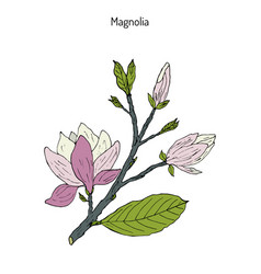 blossom brunch of magnolia vector image