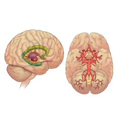 Brain inferior and lateral view vector