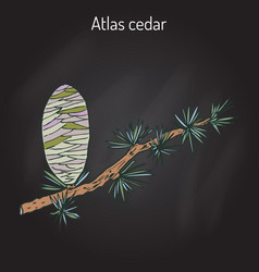 branch of a atlas cedar cedrus atlantica vector image
