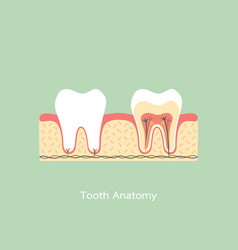 healthy tooth anatomy vector image vector image