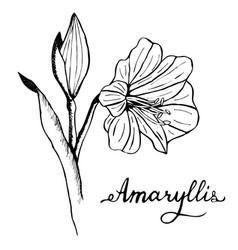amaryllis flower botany vector image vector image