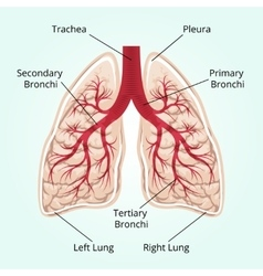Structure of the lungs vector