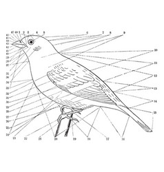 Topography of a bird vintage vector