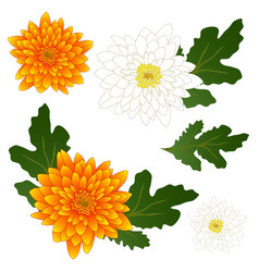 yellow and white chrysanthemum flower vector image vector image