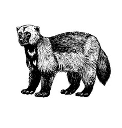 Hand drawn wolverine sketch vector