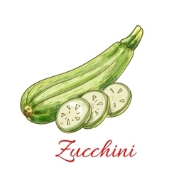 Zucchini squash vegetable isolated sketch vector image vector image