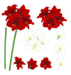 red and white amaryllis - hippeastrum christmas vector image