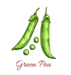 Green pea vegetable sketch with fresh pod grain vector