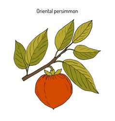 Japanese persimmon diospyros kaki vector