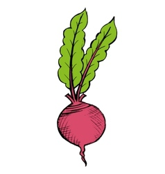 red beet vector image vector image