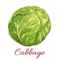 Cabbage vegetable isolated sketch vector