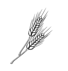 Sketch of wheat with ripe grains vector image