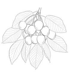 Sketch of sweet cherry vector