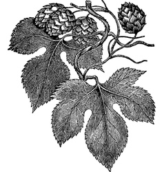 Common Hop vector image