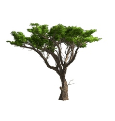 Acacia tree isolated vector image