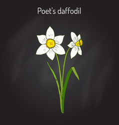 narcissus or daffodil daffadowndilly jonquil vector image vector image