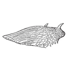 Wing of kamichi or crested screamer vintage vector