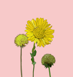 Flowers calendula clover vector