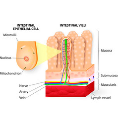 Microvilli detail of small intestine vector