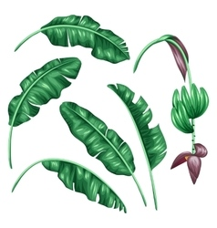 Set of stylized banana leaves Decorative image vector image