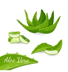 Aloe vera plant and its parts vector