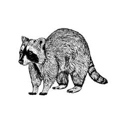 hand drawn raccoon sketch vector image