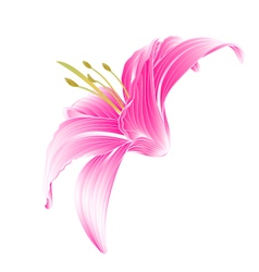 Flower daylily pink lily on a white background vector