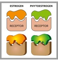 Estrogen and Phytoestrogen Receptors vector image