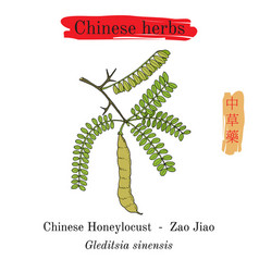 Medicinal herbs of china chinese honeylocust vector