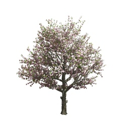 Apple tree isolated vector image vector image
