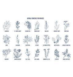 Best herbal remedies to treat bruises vector