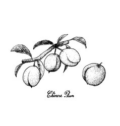 Hand drawn of chinese plums on white background vector