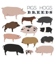 pigs hogs breed icon set flat design vector image