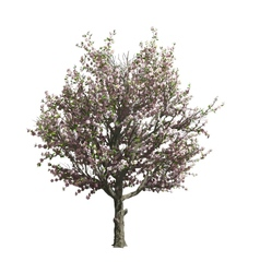 Apple tree isolated vector