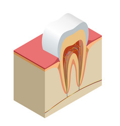 Isometric real tooth anatomy closeup cut away vector