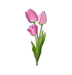 hand drawn bunch of three side view pink tulip vector image
