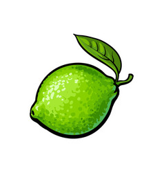Whole shiny ripe green lime with a leaf vector