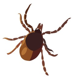 Insect tick vector image vector image