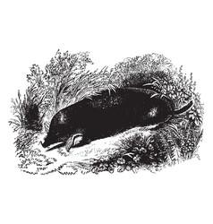 Common mole vintage vector