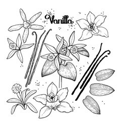 Graphic vanilla flowers vector image