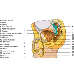 Reproductive system of men poster vector image vector image