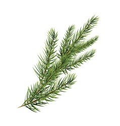 Branch of pine tree spruce pine fir christmas tree vector