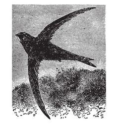 Common swift vintage vector