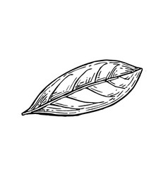 bay leaf ink sketch vector image