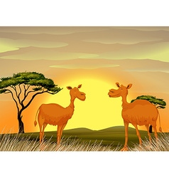 Camels standing in the field at sunset vector